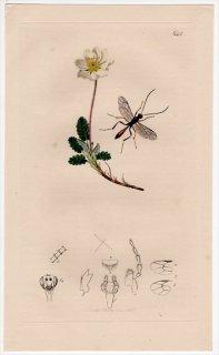 1837年 John Curtis 英国の昆虫学 Pl.644 ヒメバチ科 シンフェルタ属 Mesoleptus waltoni バラ科 チョウノスケソウ