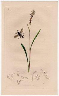1837年 John Curtis 英国の昆虫学 Pl.652 ギングチバチ科 ジガバチモドキ属 Trypoxylon clavicerum タデ科 ムカゴトラノオ