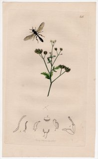 1837年 John Curtis 英国の昆虫学 Pl.656 ギングチバチ科 ホソギングチバチ属 Rhopalum tibiale セリ科 トリリス属