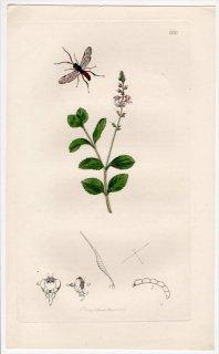 1837年 John Curtis 英国の昆虫学 Pl.660 ヒメバチ科 エウケロス属 Euceros albitarsus ゴマノハグサ科 クワガタソウ属