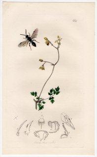 1837年 John Curtis 英国の昆虫学 Pl.664 コツチバチ科 チフィア属 Tiphia minuta キンポウゲ科 アキカラマツ