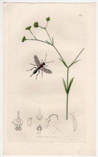 1837年 John Curtis 英国の昆虫学 Pl.668 ヒメバチ科 ホプロクリプツス属 Cryptus bellosus スイカズラ科 ノヂシャ属