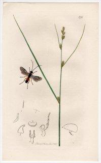 1837年 John Curtis 英国の昆虫学 Pl.672 コマユバチ科 ケロヌス属 Chelonus wesmaelii カヤツリグサ科 スゲ属