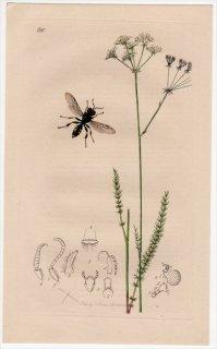 1838年 John Curtis 英国の昆虫学 Pl.680 ギングチバチ科 クロッソケルス属 Crabro subpunctatus セリ科 トロクダリス属