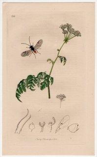 1838年 John Curtis 英国の昆虫学 Pl.688 タマバチ科 ディプロレピス属 Cynips nervosa セリ科 ドクニンジン