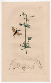 1838年 John Curtis 英国の昆虫学 Pl.692 ハバチ科 ハバチ属 Tenthredo cingulata ナデシコ科 オオツメクサ