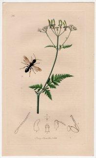 1838年 John Curtis 英国の昆虫学 Pl.720 セイボウ科 オマルス属 Bethylus fulvicornis セリ科 シャク