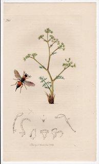 1839年 John Curtis 英国の昆虫学 Pl.724 タマヤドリコバチ科 オルミルス属 Cleptes nitidula セリ科 トリニア属