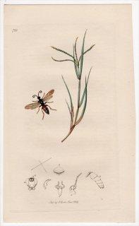 1839年 John Curtis 英国の昆虫学 Pl.728 ヒメバチ科 ディフィウス属 Ichneumon amatorius イネ科 ギョウギシバ