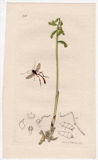 1839年 John Curtis 英国の昆虫学 Pl.736 ヒメバチ科 ヘテロペルマ属 カラフトコンボウアメバチ Therion amictum ラン科 コラロリザ属