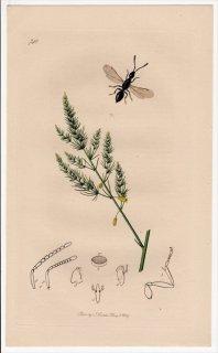 1839年 John Curtis 英国の昆虫学 Pl.740 コガネコバチ科 スパランギア属 Spalangia nigra キジカクシ科 アスパラガス