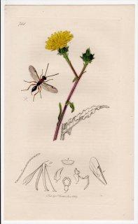 1839年 John Curtis 英国の昆虫学 Pl.744 シリボソクロバチ科 ディソグムス属 Proctotrupes areolator キク科 コウゾリナ属