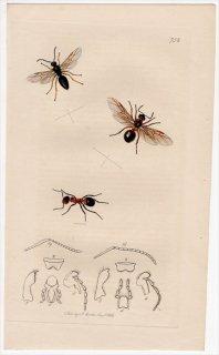 1839年 John Curtis 英国の昆虫学 Pl.752 アリ科 ヤマアリ属 ヨーロッパヤマアカアリ Formica rufa