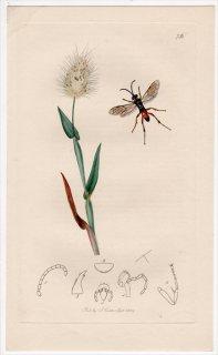 1839年 John Curtis 英国の昆虫学 Pl.756 ベッコウバチ科 ケロパレス属 Ceropales variegatus イネ科 ウサギノオ