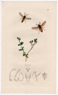 1839年 John Curtis 英国の昆虫学 Pl.760 スズメバチ科 クロスズメバチ属 ツヤクロスズメバチ Vespa rufa ナデシコ科 ヨツバハコベ