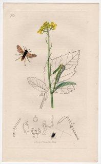 1839年 John Curtis 英国の昆虫学 Pl.764 ハバチ科 ハバチ属 Allantus flavipes アブラナ科 クロガラシ