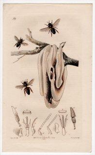 1839年 John Curtis 英国の昆虫学 Pl.769 ミツバチ科 ミツバチ属 セイヨウミツバチ Apis mellifica 巣