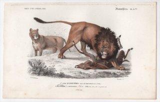 1849年 D'Orbigny 万有博物事典 哺乳類 Pl.8bis ネコ科 ヒョウ属 ライオン Felis leo