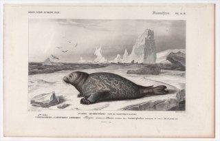 1849年 D'Orbigny 万有博物事典 哺乳類 Pl.8b アザラシ科 ゴマフアザラシ属 ゼニガタアザラシ Phoca vitulina