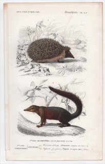 1849年 D'Orbigny 万有博物事典 哺乳類 Pl.8c ハリネズミ科 ナミハリネズミ ツパイ科 コモンツパイ
