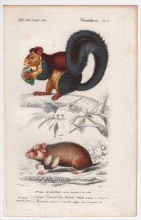 1849年 D'Orbigny 万有博物事典 哺乳類 Pl.9 リス科 インドオオリス キヌゲネズミ科 クロハラハムスター