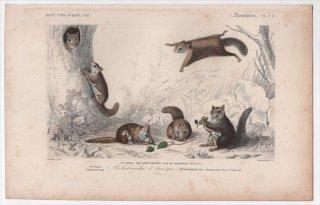 1849年 D'Orbigny 万有博物事典 哺乳類 Pl.9a リス科 アメリカモモンガ属 アメリカモモンガ