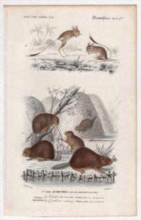 1849年 D'Orbigny 万有博物事典 哺乳類 Pl.9a bis ビーバー科 ヨーロッパビーバー トビネズミ科 ヒメミユビトビネズミ