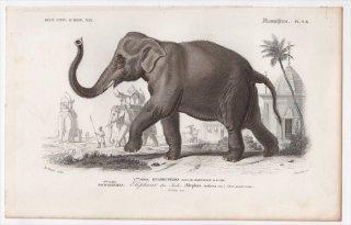 1849年 D'Orbigny 万有博物事典 哺乳類 Pl.9b ゾウ科 アジアゾウ属 アジアゾウ Elephas indicus