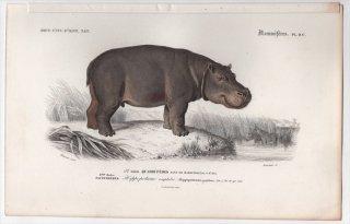 1849年 D'Orbigny 万有博物事典 哺乳類 Pl.9c カバ科 カバ属 カバ Hippopotamus amphibius
