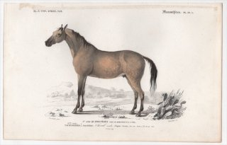 1849年 D'Orbigny 万有博物事典 哺乳類 Pl.10a ウマ科 ウマ属 ノウマ Equus caballus