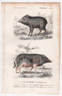1849年 D'Orbigny 万有博物事典 哺乳類 Pl.10b ペッカリー科 クビワペッカリー イノシシ科 イノシシ属
