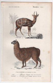 1849年 D'Orbigny 万有博物事典 哺乳類 Pl.11 ラクダ科 ビクーニャ属 アルパカ ウシ科 ブッシュバック属 ブッシュバック