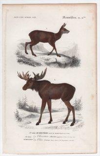 1849年 D'Orbigny 万有博物事典 哺乳類 Pl.11bis ウシ科 ローヤルアンテロープ属 ローヤルアンテロープ シカ科 ヘラジカ属 ヘラジカ