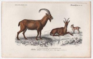 1849年 D'Orbigny 万有博物事典 哺乳類 Pl.13 ウシ科 ヤギ属 パサン Capra aegagrus