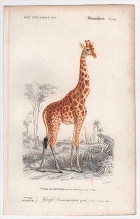 1849年 D'Orbigny 万有博物事典 哺乳類 Pl.14 キリン科 キリン属 キリン Camelopardalis girafa