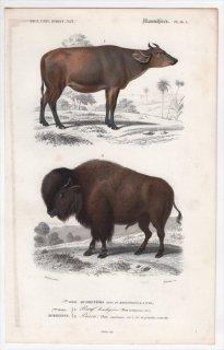 1849年 D'Orbigny 万有博物事典 哺乳類 Pl.14a ウシ科 ウシ属 ウシ Bos brachyceros バイソン属 アメリカバイソン Bos americanus