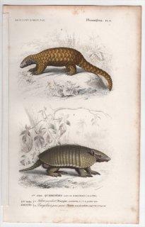 1849年 D'Orbigny 万有博物事典 哺乳類 Pl.15 アルマジロ科 ムツオビアルマジロ センザンコウ科 インドセンザンコウ