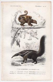 1849年 D'Orbigny 万有博物事典 哺乳類 Pl.16 ヒメアリクイ科 ヒメアリクイ オオアリクイ科 オオアリクイ