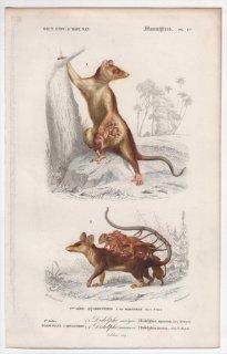 1849年 D'Orbigny 万有博物事典 哺乳類 Pl.17 オポッサム科 ヨツメオポッサム ナミマウスオポッサム