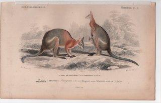 1849年 D'Orbigny 万有博物事典 哺乳類 Pl.18 カンガルー科 カンガルー属 セスジワラビー Kangurus dorsalis