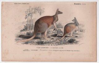 1849年 D'Orbigny 万有博物事典 哺乳類 Pl.19 カンガルー科 カンガルー属 アカカンガルー Kangurus laniger