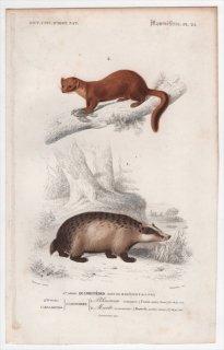 1849年 D'Orbigny 万有博物事典 哺乳類 Pl.25 イタチ科 アナグマ属 ヨーロッパアナグマ テン属 マツテン