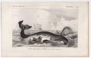 1849年 D'Orbigny 万有博物事典 哺乳類 Pl.21 セミクジラ科 ホッキョククジラ属 ホッキョククジラ Balaena mysticetus