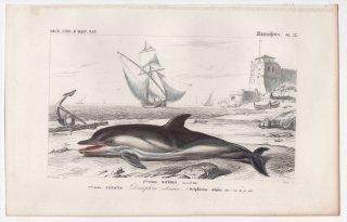 1849年 D'Orbigny 万有博物事典 哺乳類 Pl.22 マイルカ科 マイルカ属 マイルカ Delphinus delphis