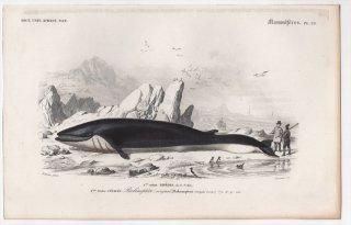 1849年 D'Orbigny 万有博物事典 哺乳類 Pl.23 ナガスクジラ科 ナガスクジラ属 ナガスクジラ Balaenoptera rorqual
