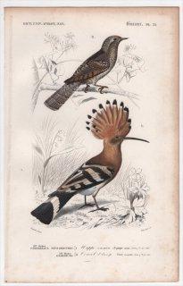 1849年 D'Orbigny 万有博物事典 鳥類学 Pl.31 ヤツガシラ科 ヤツガシラ Upupa epops キツツキ科 アリスイ Yunx torquilla