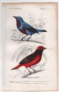 1849年 D'Orbigny 万有博物事典 鳥類学 Pl.32 カザリドリ科 アオオビカザリドリ Ampelis cotinga ギアナアカクロカザリドリ Ampelis carnifex