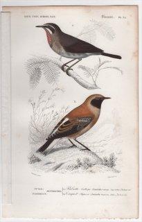 1849年 D'Orbigny 万有博物事典 鳥類学 Pl.35 ヒタキ科 ノゴマ Lusciola calliope カオグロサバクヒタキ Saxicola stapazina