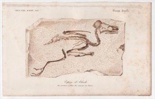 1849年 D'Orbigny 万有博物事典 哺乳類の化石 カワセミ科 骨格 化石 Espece d'Alcedo