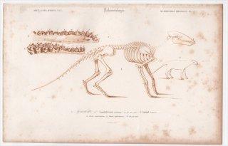 1849年 D'Orbigny 万有博物事典 哺乳類の化石 Pl.1 アノプロテリウム科 アノプロテリウム Anoplotherium commune 骨格 恐竜